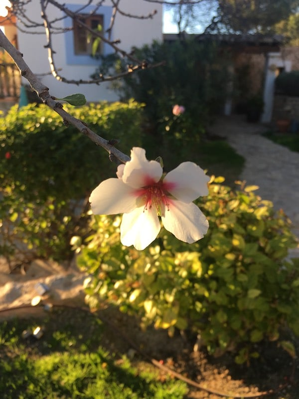 Can Frare first almond blossom
